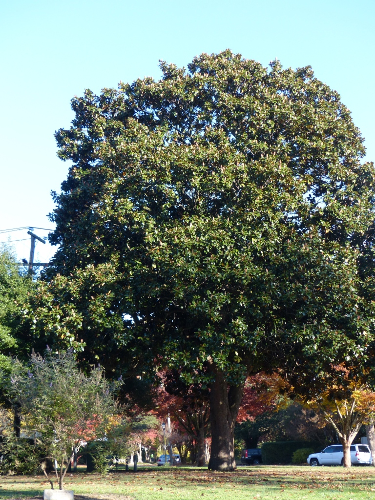 My local magnolia tree, which sparingly drops thick, glossy leaves.