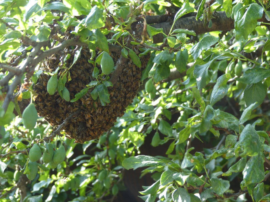 This is the hive we found hanging low in the backyard of a house we decided not to rent.