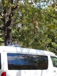 This young baboon moved in for a closer look at our baby carrier drying on the roof of the van after our excursion through the mist of the falls.