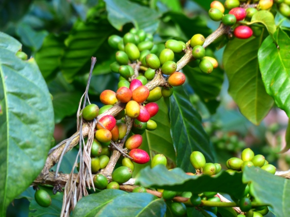 Coffee beans are the seed of this berry that grows on the coffee tree or bush (depending on the kind of coffee).