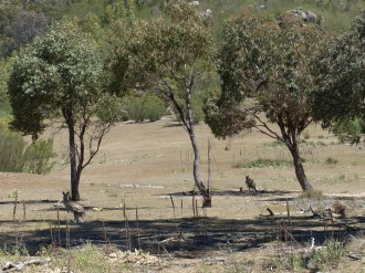 Kangaroos in Tidbinbilla Nature Reserve in Canberra, ACT (Australia Capital Territory)
