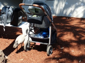 Local bird life doing what all birds do at playgrounds - raid the strollers for food.